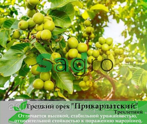 Грецкий орех ПРИКАРПАТСКИЙ Трехлетний, фото 2
