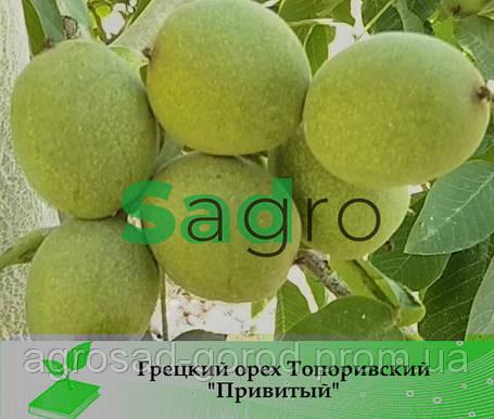 Грецкий орех ТОПОРИВСКИЙ Привитый ПитомниК, фото 2