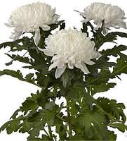 Хризантема крупная  ГАГАРИН, фото 1