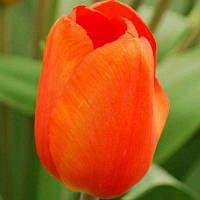 Тюльпан Триумф Lalibela (Лалибела) 12+ оптом 500 шт./ящ.