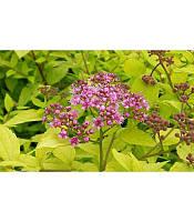Spiraea japonica 'Goldmound', Спірея японська 'Голдмаунд'(рос.:Spiraea japonica 'Goldmound' Спирея японская),C2-C3 - горщик 2-3л