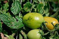 Бактериальная крапчатость томатов, Pseudomoпas syringae pv. tomato. Симптомы, препараты для устранения бактериоза