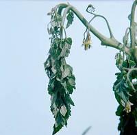 Характеристика бактериального вилта томатов. Препараты для лечения