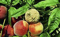 Несколько простых способов, которые помогут избавиться от плодовой гнили.