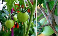 Фитофтороз томатов - не приговор! Профилактика и лечение бурой пятнистости помидор.