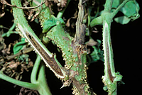 Некроз сердцевины стеблей томатов, Psеudomonas corrugata