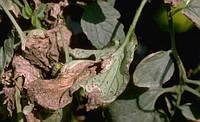 Симптомы черной бактериальной пятнистости томатов, Xanthomonas vesicatoria