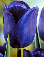 Тюльпан Триумф Bleu Aimable