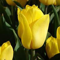 Тюльпан Триумф Strong Gold