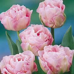 Луковицы тюльпанов Angelique, 3 луковицы