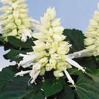 Семена Сальвии Редди белая 100 шт, Hem Genetics