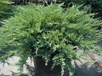 Можжевельник казацкий Тамарисцифолия(Juniperus Sabina Tamariscifolia) Ø80+см, контейнер С10
