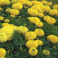 "Семена  цветов Бархатцы (Чорнобрывци) Купидон (желтые), 5 г, ""Hem Zaden"",  Нидерланды"