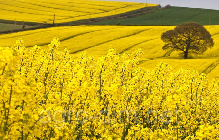 Семена рапса Шербрук, Seed Grain Company, фото 2