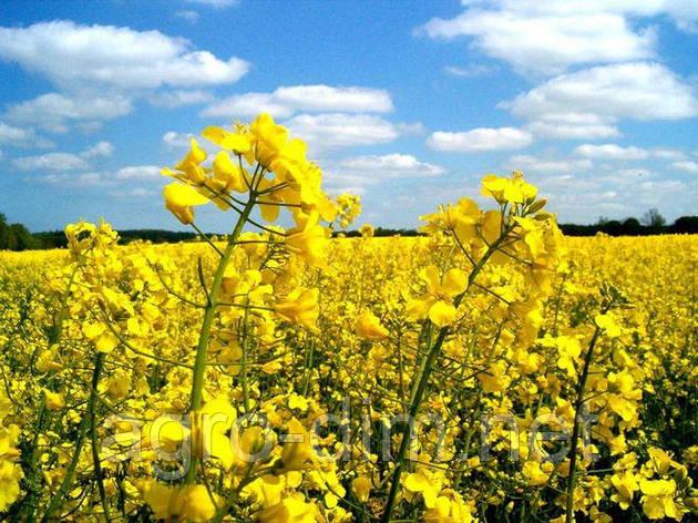 Семена рапса Эстер, Seed Grain Company, фото 2