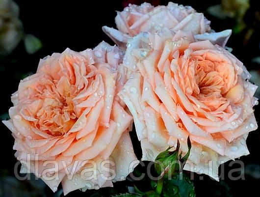 Саженцы роз. Роза плетистая  Barock. Барок