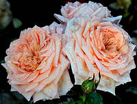 Саженцы роз. Роза плетистая  Barock. Барок , фото 1