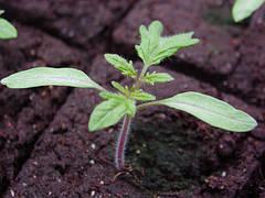 Формирование крепкой рассады для томатов