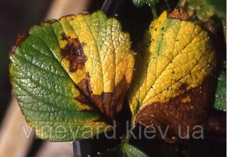 Бактериальное увядание листьев земляники, Xanthomonas arboricola pv. fragariae.Симптомы, распространения, вредность