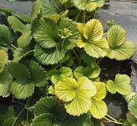 Симптомы краевого хлороза листьев земляники, Candidatus