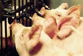 Ниппельное поение для свиней и поросят, птиц и кроликов