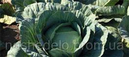 Семена капусты Адаптор F1 2500 семян Syngenta