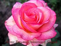 Саженцы роз. Роза чайно-гибридная Куин Амазон