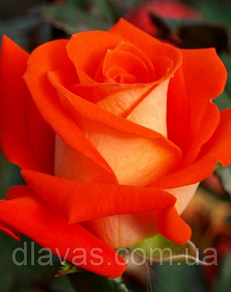 Саженцы роз. Роза чайно-гибридная Верано НАЛИЧИЕ(1 шт)
