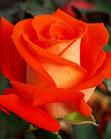 Саженцы роз. Роза чайно-гибридная Верано НАЛИЧИЕ(1 шт), фото 1
