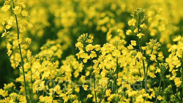 Насіння озимого ріпаку Юкон, Seed Grain Company, фото 2