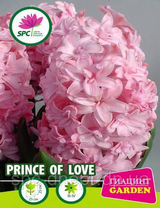 Гиацинт Prince of Love, фото 2