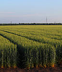 Сорта пшеницы озимой элита (интенсивного типа)