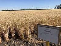 Насіння пшениця озима сорт інтенсивного типу ОЗЕРНА еліта