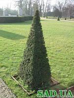 Тис ягодный пирамида, 160-180 см