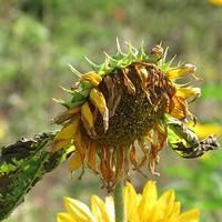 Бактериальный некроз подсолнечника, Xanthomonas campestris. Симптомы заболевания