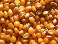 Посевная кукуруза НС 2014