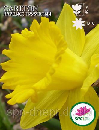 Нарцисс трубчатый Carlton, фото 2