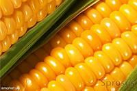 Посевная кукуруза НС 101