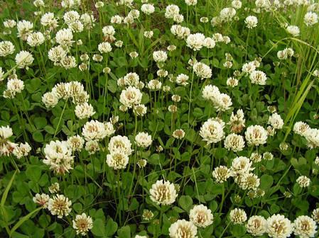 Семена Клевер белый Grasslands Huia (Грасландс Хуа) 1кг Новая Зеландия, фото 2