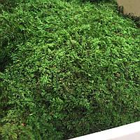 Стабилизированный мох папоротниковый кг.