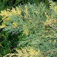 Можжевельник средний Блю энд Голд / Juniperus media Blue and Gold саженец (контейнер Р9)