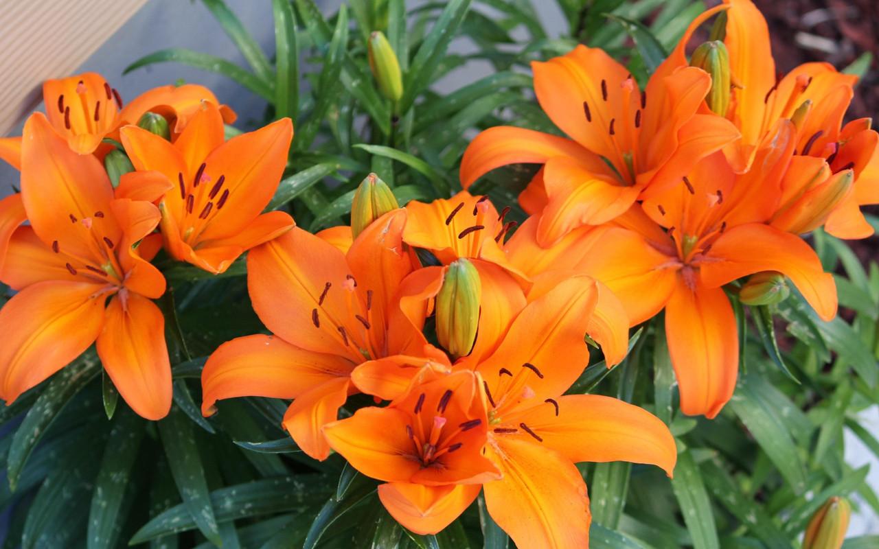 Лилия №3 (оранжевая)