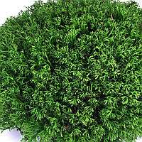 Стабилизированный мох ягель, фото 1