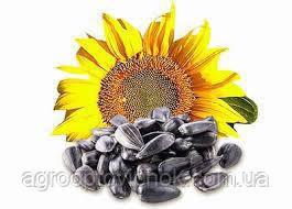 Семена подсолнечника Меркурій імі под евролайтинг