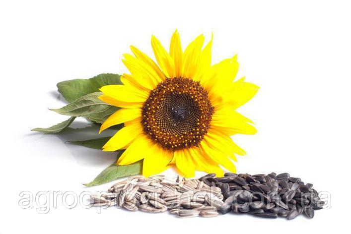 Оскил, семена подсолнуха (1 шт..), фото 2