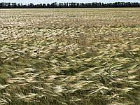 Девятый вал (двуручка) семена ячмень озимый Элита  оригинатор Одесский селекционно-генетический институт