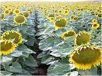 Семена подсолнечника НС Таурус от Юг Агролидер