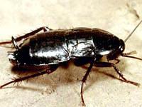 Уничтожение тараканов дезинсекция Винница, избавление от тараканов