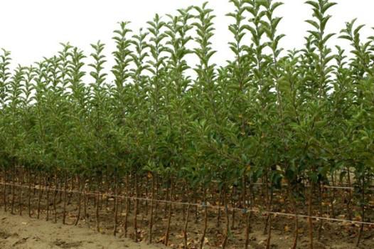 Вирощування саджанців груші на карликових підщепах під клієнта