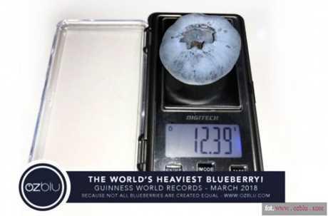 Гигантская ягода голубики занесена в книгу рекордов Гиннесса
